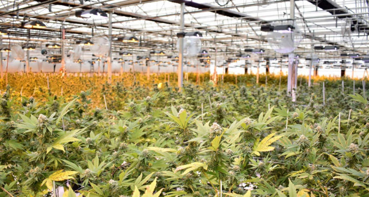 Aurora Cannabis partner awarded processing license