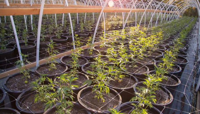 Aurora Cannabis wants outdoor grows for good reason