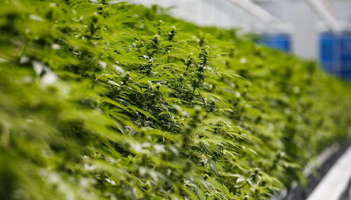 Aurora Cannabis inks a new deal that could change the industry