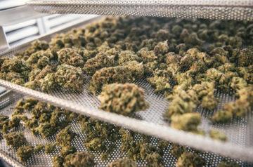 Aurora Cannabis peak production capacity climbs higher