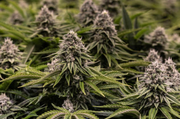 Liberty Health Sciences launches flower, pre-roll sales in Florida