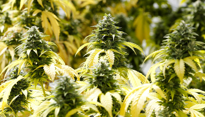 Three acquisitions Aurora Cannabis could consider