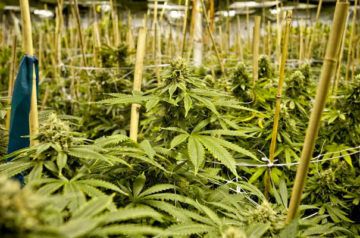 Aurora Cannabis picks up two new cultivation licenses