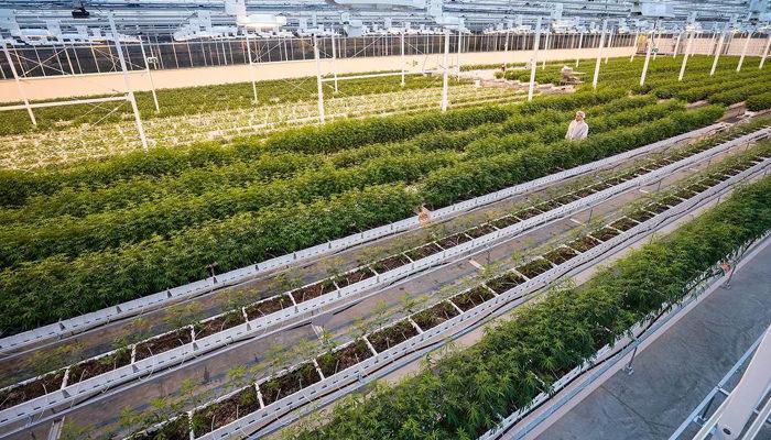 Aurora Cannabis on top of global cannabis growth