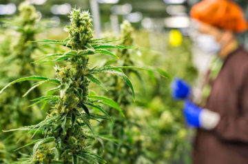 Aurora Cannabis takeover of Hempco looks more likely