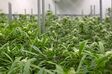 Four reasons Aurora Cannabis is ready for the future