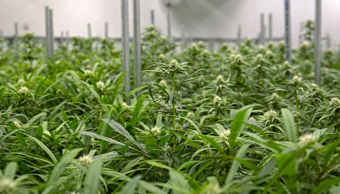 Four reasons Aurora Cannabis is ready for the future
