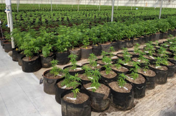 What Charlotte's Web's plant patent means to the cannabis industry