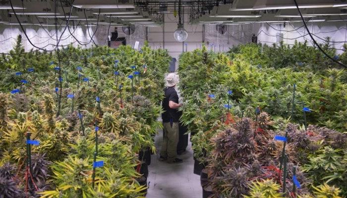 Aurora Cannabis ready to introduce sublingual cannabis wafers