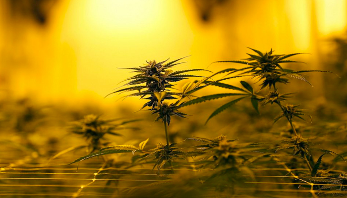 """Liberty Health Sciences: A """"bright spot"""" among cannabis stocks, says analyst"""