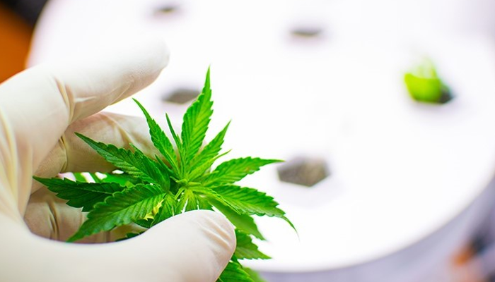 Canopy Rivers subsidiary approved for participation in new cannabis research program