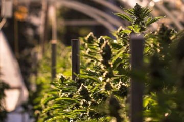 TerrAscend awarded cultivation permit in New Jersey