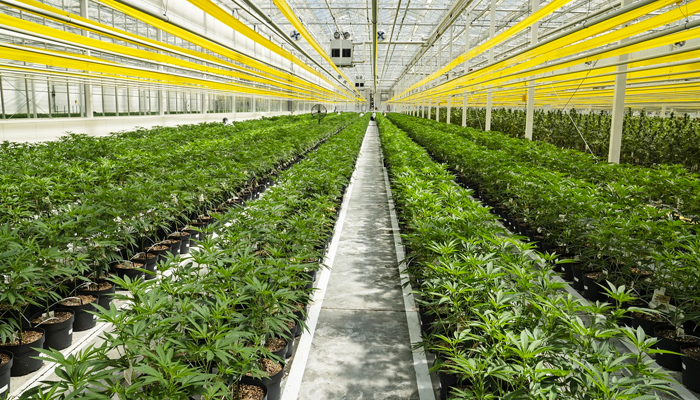 Canopy Growth ups the ante on outdoor cultivation