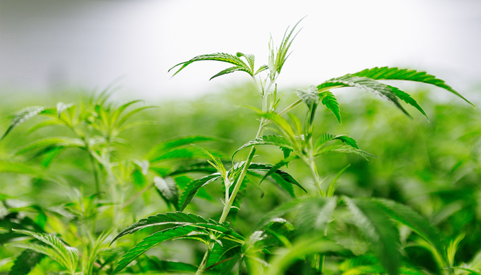 Supreme Cannabis Company's 7ACRES facility running strong