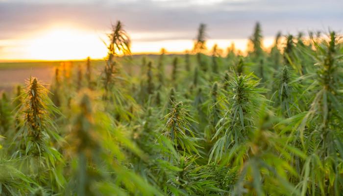 Charlotte's Web Holdings introduces new mentor program for Black hemp farmers