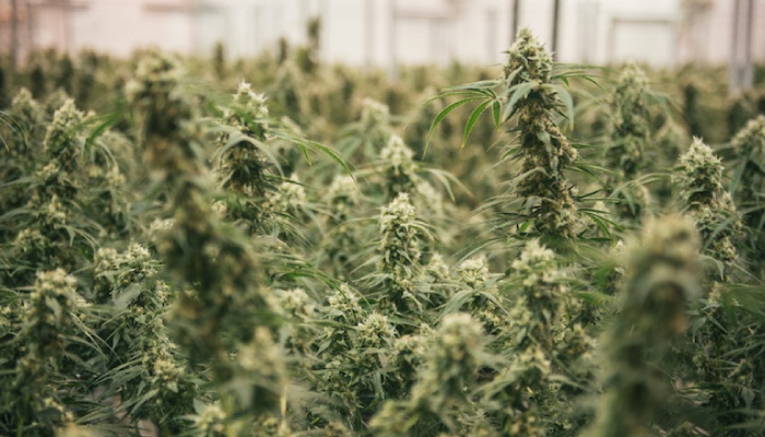 Canopy Growth sells Denmark facility to Australian cannabis producer