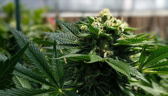 Deadline approaching for Supreme Cannabis shareholders to vote on Canopy Growth acquisition